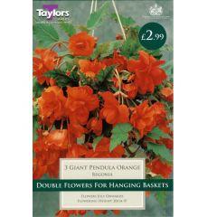 Begonia Giant Pendula Orange