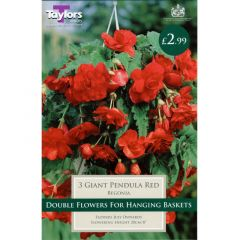 Begonia Giant Pendula Red