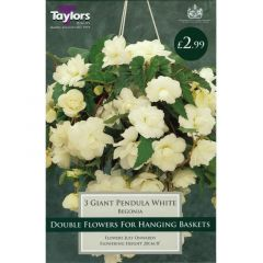 Begonia Giant Pendula White