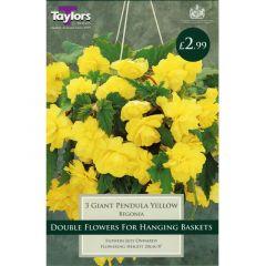 Begonia Giant Pendula Yellow