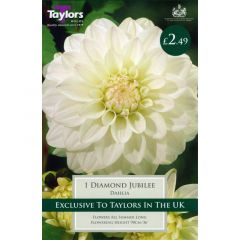 Dahlia Diamond Jubilee