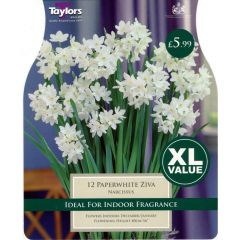 Narcissus Paperwhite Ziva XL Value