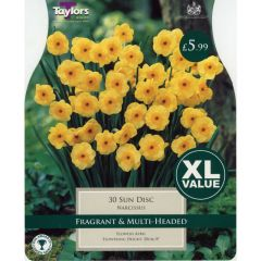 Narcissus Sun Disc XL Value