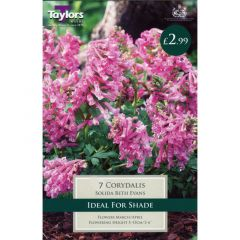 Corydalis Solida Beth Evan - Taylors Bulbs