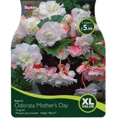Begonia Odorata Mother's Day XL Value