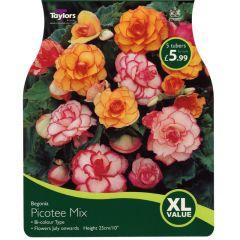 Begonia Picotee Mix XL Value