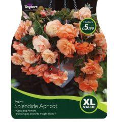 Begonia Splendide Apricot XL Value