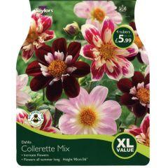 Dahlia Collerette Mix XL Value