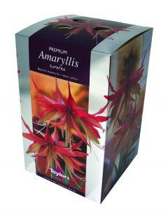 Taylors Amaryllis Sumatra