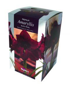 Taylors Amaryllis Black Pearl