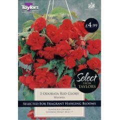 Begonia Odorata Red Glory