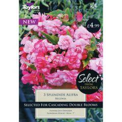 Begonia Splendide Alifra
