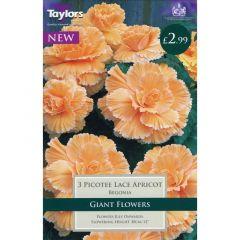 Begonia Picotee Lace Apricot