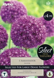 Allium Ambassador 1 Pack - Taylor's Bulbs