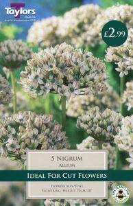Allium Nicrum 5 Pack - Taylors Bulbs