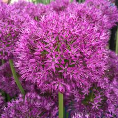 Allium Purple Sensation 60 Pack - Taylors Bulbs