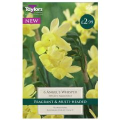 Narcissus Angels Whisper  - Taylor's Bulbs