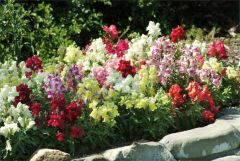 Kindergarden Plants Antirrhinum Appeal Mixed 20 Cell Plug Pack