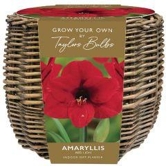 Indoor Amaryllis Basket - Taylor's Bulbs