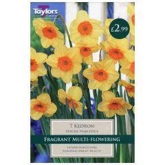 Narcissi Kedron  - Taylor's Bulbs