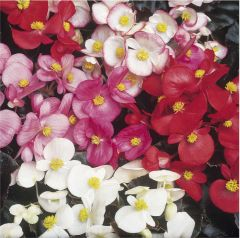 Kindergarden Plants Begonia (semps.) Devils Delight Mixed 20 Cell Plug Pack