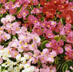 Kindergarden Plants Begonia (semps.) Heavens Delight Mixed 20 Cell Plug Pack