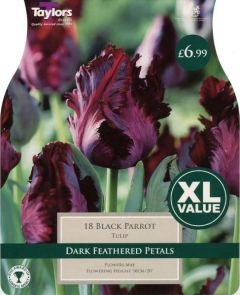 Tulip Black Parrot XL Value (18 Pack) - Taylors Bulbs