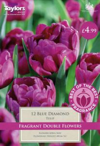 Tulip Blue Diamond 12 Pack - Taylors Bulbs