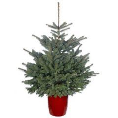 Needlefresh Blue Spruce Pot Grown Christmas Tree 100/125cm