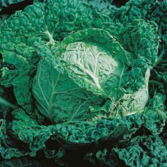 Cabbage Savoy King F1 Seeds - Mr Fothergills
