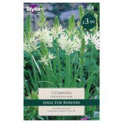 Camassia Leichtlinii Alba - GC-TAYLORS
