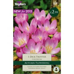 Colchicum Dick Trotter 1 Pack - GC-TAYLORS