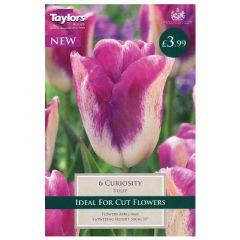 Tulip Curiosity  - Taylor's Bulbs