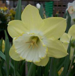 Narcissus Binkie 8Kg - Taylor's Bulbs