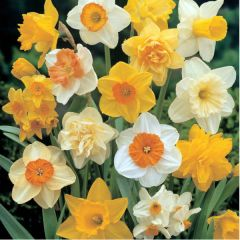 Narcissi Mix Naturalising 7kg - Taylors Bulbs