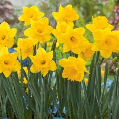 Narcissi Dutch Master 7kg - Taylors Bulbs