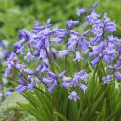 Beautiful Gardens English Bluebells 16 Pack - Kapiteyn