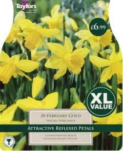 Narcissus February Gold XL Value