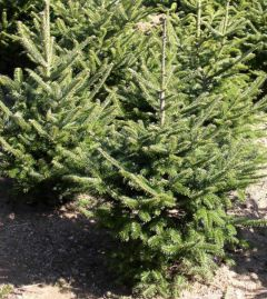 Needlefresh Fraser Fir 240-270cm (8 - 9ft) Real Cut Christmas Tree