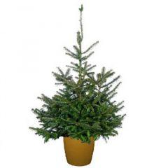 Needlefresh Fraser Pot Grown Christmas Tree 100/125cm