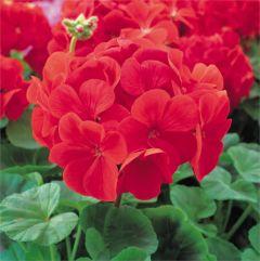 Kindergarden Plants Geranium Bright Red 20 Cell Plug Pack