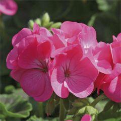 Kindergarden Plants Geranium Rose 20 Cell Plug Pack