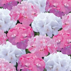 Kindergarden Plants Geranium Candyfloss Mixed 20 Cell Plug Pack