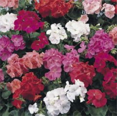 Kindergarden Plants Geranium Show Stopper Mixed 20 Cell Plug Pack