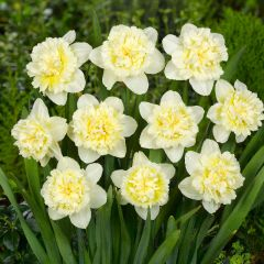 Narcissi Ice King 7Kg - Taylor's Bulbs