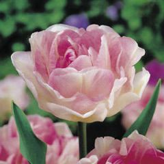 Beautiful Gardens Tulip Angelique 20 Pack - Kapiteyn