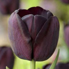 Beautiful Gardens Tulip Queen of Night 20 Pack - Kapiteyn