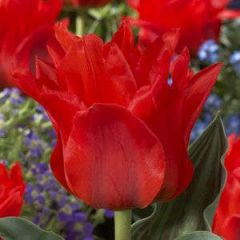 Beautiful Gardens Tulip Dwarf Red Riding Hood 20 Pack - Kapiteyn