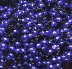 Kindergarden Plants Lobelia Sapphire 20 Cell Plug Pack