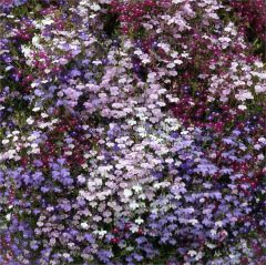 Kindergarden Plants Lobelia Trailing Mixed 20 Cell Plug Pack